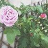 薔薇が咲いた**の画像