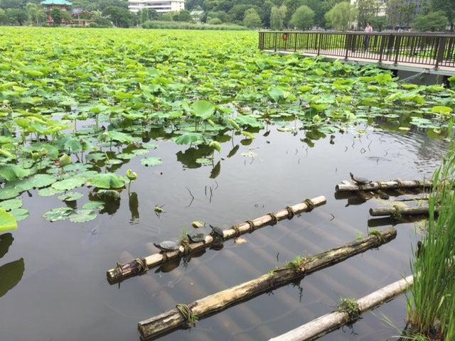 5上野公園 あじさい