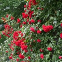 与野公園の薔薇園で♪