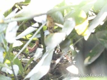 ヒヨドリのヒナ