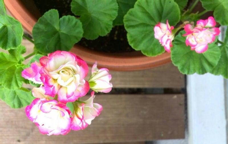 ゼラニウム(ゼラニューム?)は手間もかからず病気にも強いので元気に花を咲かせています。