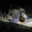 屋久島日記 vol.2  亀の産卵に遭遇の記事より