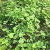 蕎麦の実の芽の画像
