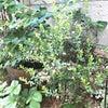 ラズベリー、クランベリーなど果樹を育てる☆の画像
