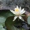 睡蓮が咲きましたの画像