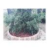 """""""庭仕事"""" オリーブの木の下にバークチップの画像"""
