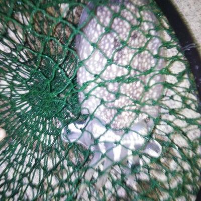 【大洗・エギング】先日6月22日(水)大洗港にてお客様がでコウイカを釣り上げましの記事に添付されている画像