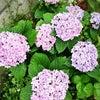 紫陽花の季節****の画像