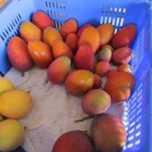 マンゴー収穫量増加中