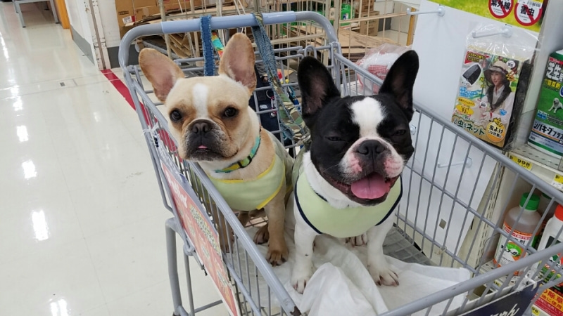 Image result for 犬 frenchie bulldog 彼の顔をなめる