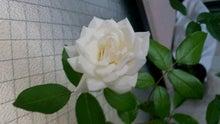 自宅のベランダで初めて開花したアイスバーグ