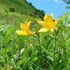 ニッコウキスゲの咲き具合の画像