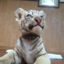 赤ちゃんトラ!命名じ…