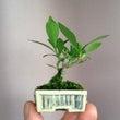 クチナシの超ミニ盆栽