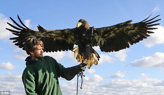 bald eagle wing span