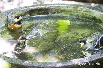 シジュウカラとヤマガラの水浴び