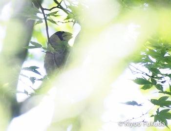 イカルの幼鳥