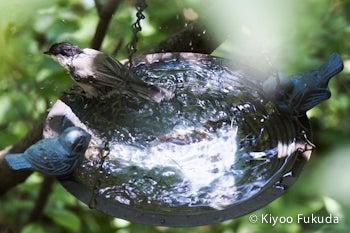 コガラの水浴び