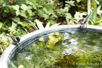 エナガとコガラの水浴び