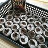 種まきビオラ 1ヶ月半経過の画像