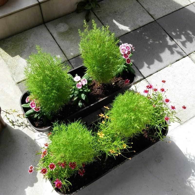 鉢植え コキア