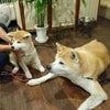 秋田犬ののちゃんとご対面~~(⋈◍>◡<◍)。✧♡の画像
