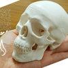 最近更新した4つの頭蓋骨や健康美に関するコラムの画像