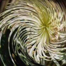 不可思議な菊