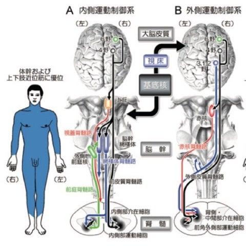 内側運動制御 | 脳卒中回復期理...