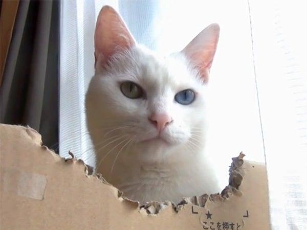 段ボール箱の中の白猫ユキ