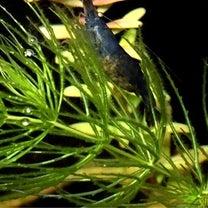 ミナミヌマエビが産卵ラッシュ!連続抱卵!前兆も見たよ!!の巻の記事に添付されている画像