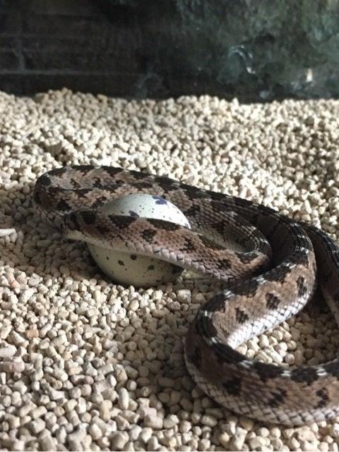タマゴヘビ 販売