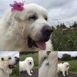 犬と超大型犬と共に生…