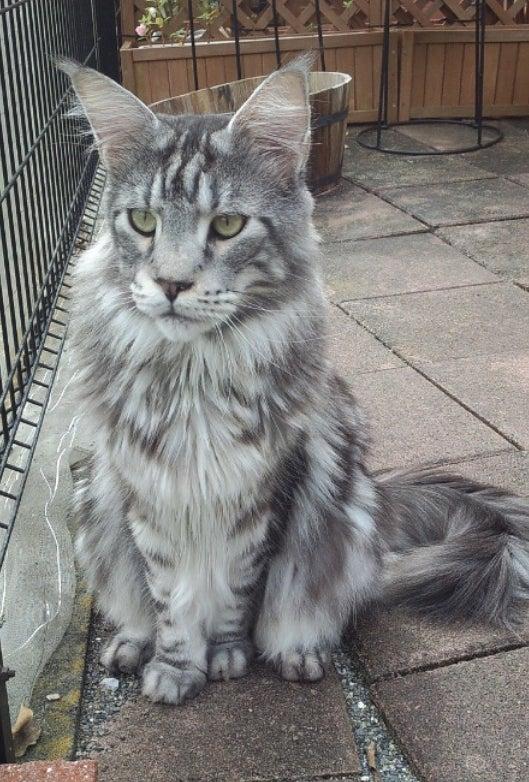 うちの魔王さま。猫としては大きい、メインクーンとしては小さい?