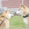 【ドッグホテル】横顔がキレイ!!柴犬×柴犬の画像