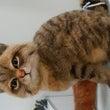 猫  サイベリアン