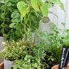 ハーブの美味しい寄せ植えの画像