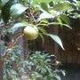 柚子屋の柚子の木