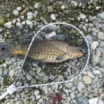 多摩川中流域の鯉の調…