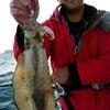 アオリ大漁   アコウの画像