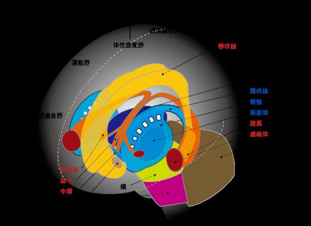 大脳基底核 | Sirius-aoboshi
