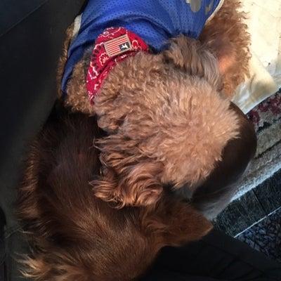 目と心臓が悪く、心にも波があるためワンワンレスキュー生涯飼育保護犬のバンビちゃんの記事に添付されている画像