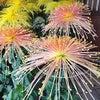 菊花見日和の画像