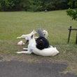 犬を枕にする