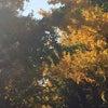マッキーなイチョウ並木道の画像