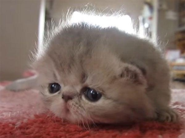 生後3週間のエキゾチックショートヘアーの子猫