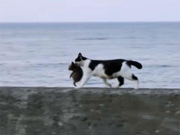 子猫をくわえて、海の堤防を歩く母猫