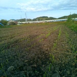 もち麦の画像