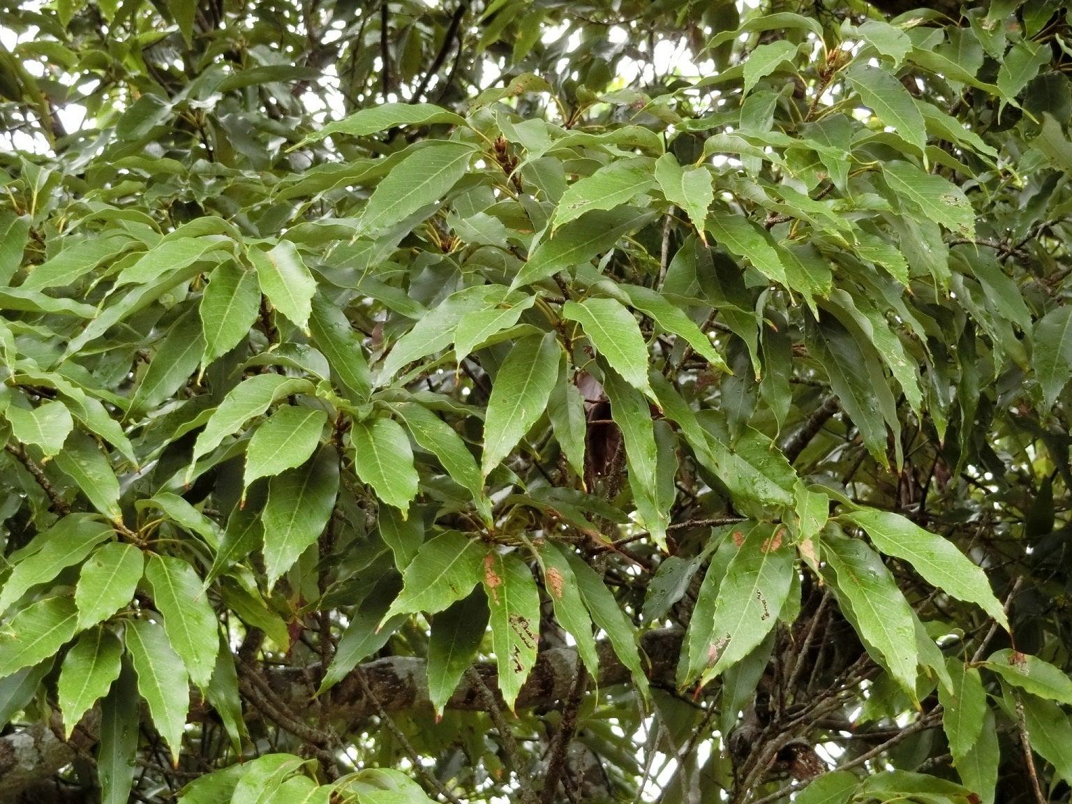 オキナワウラジロガシ | Quercus...
