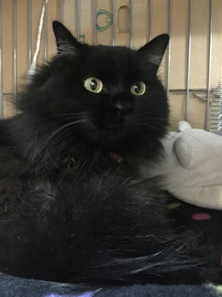 ゴージャスで大人しい!長毛黒猫さんがずっとのおうちを探してい